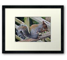 The Nut Thief . Framed Print