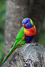 Rainbow Lorikeet. by Donovan Wilson