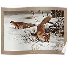 Friedrich Wilhelm Kuhnert Two foxes Canis vulpes in the snow Colour reproduction of Wellcome V0021580 Poster