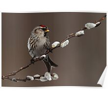 Redpoll on Willow Poster