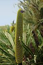 Banksia Attenuata (Candle Banksia) - The Bud by Elaine Teague