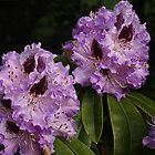 Rhododendruns of Mauve by Bev Pascoe