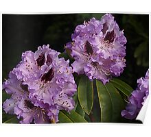 Rhododendruns of Mauve Poster
