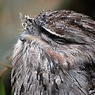 tawny frogmouth by natalie angus