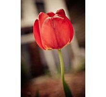 Faded Tulip Photographic Print