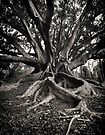 Morton Bay Fig ~ King's Park WA by Pene Stevens
