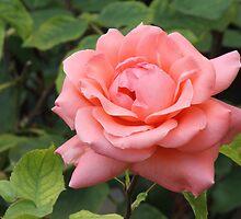 Rose by crazyman53