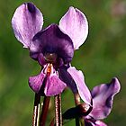 Purple Diuris (Diuris punctata) by Bev Pascoe