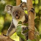 Koala by fnqphotography