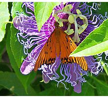 Gulf Fritillary on Passion Flower Photographic Print