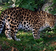 Leopard by Avent101
