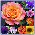 Flowers of Summer Collage featuring Radiant Rose Beauty by BlueMoonRose