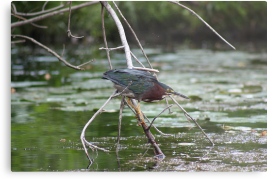 Green Heron by Thomas Murphy