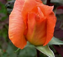 Rosebud by Ana Belaj