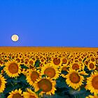 Moon Over My Sunflowers by Rick Louie