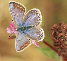 Blue butterfly and pink clover by Pauline-W
