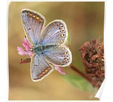 Blue butterfly and pink clover Poster