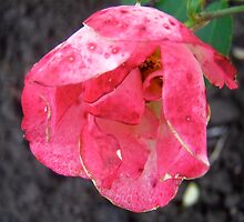 Governor General's rose 2 by Shulie1