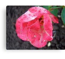 Governor General's rose 2 Canvas Print