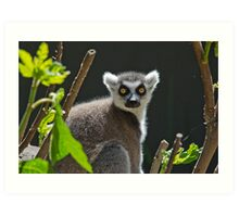Ring-Tailed Lemur, Adelaide Zoo. Not sure if this is Cheech or Chong Art Print