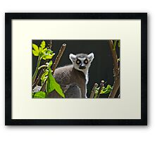 Ring-Tailed Lemur, Adelaide Zoo. Not sure if this is Cheech or Chong Framed Print
