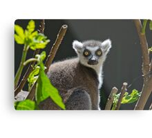 Ring-Tailed Lemur, Adelaide Zoo. Not sure if this is Cheech or Chong Metal Print
