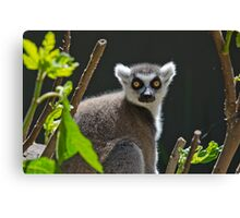 Ring-Tailed Lemur, Adelaide Zoo. Not sure if this is Cheech or Chong Canvas Print