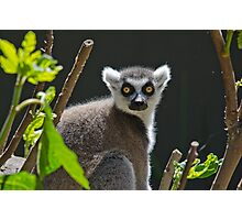 Ring-Tailed Lemur, Adelaide Zoo. Not sure if this is Cheech or Chong Photographic Print