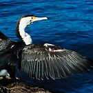 Pied Cormorant by Roger Barnes