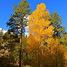 Aspen and Pine by Joy Fitzhorn