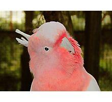 Major Mitchell - Peel Zoo, Pinjarra ~ Western Australia Photographic Print