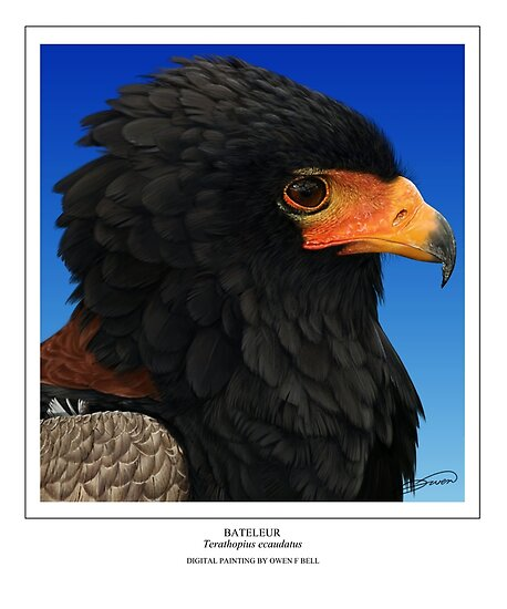 BATELEUR Terathopius ecaudatus (DIGITAL PAINTING NOT A PHOTOGRAPH) by owen bell