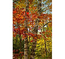 Red Maple and White Birch Photographic Print