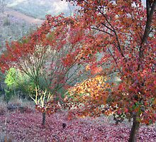Japanese and Trident Maples - A Thamo by Golden Valley Tree Park