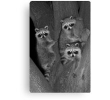 Three Baby Raccoons Canvas Print