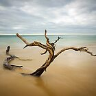 Tree, Point Nepean by Silvia Tomarchio