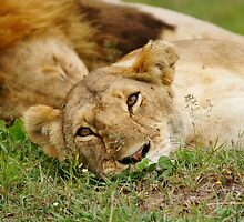 Wildlife Africa by roger smith