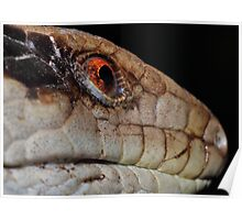 blue-tongue lizard Poster