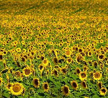 Sunflowers In Freestone by Mel Sinclair