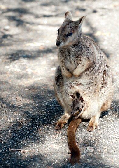 Peekaboo - Mareeba rock wallaby by Jenny Dean