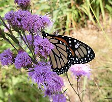 Home Sweet Home - Monarch Butterfly by Barberelli