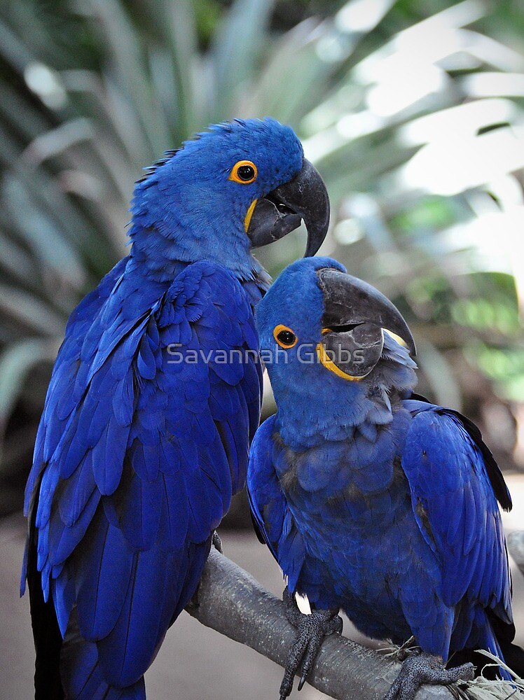 Blue Parrots by Savannah Gibbs