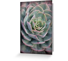 Echeveria Pink Tips Greeting Card