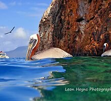 Pelican at the caves Greeting Card by Leon Heyns