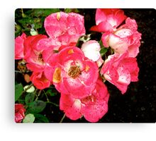 Governor General's roses 5 Canvas Print