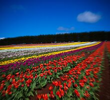 Moving Tulips by Kelly Slater