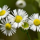 Daisy Chain by Lee Hiller-London