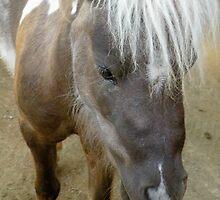 Miniature brown horse closeup by Martha Sherman