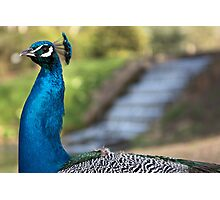 Peacock Photographic Print