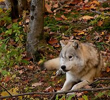 Arctic Wolf - Autumn Nap by Benjamin Brauer